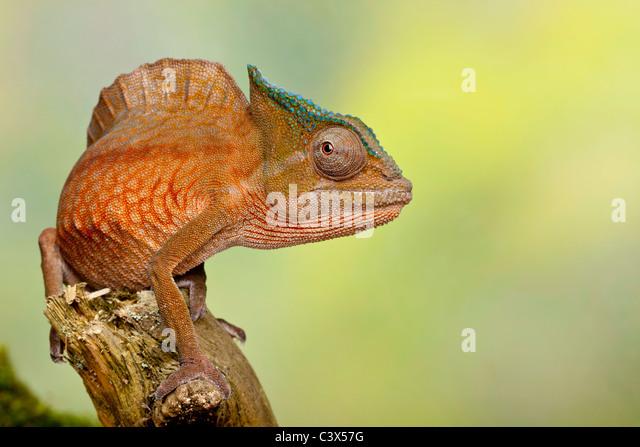 Crested Chamäleon, Trioceros Cristatus, früher Chamaeleo Cristatus, Männlich, West Afrika Stockbild