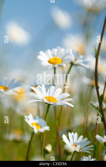 Nahaufnahme von Gänseblümchen im Feld in voller Blüte Stockbild