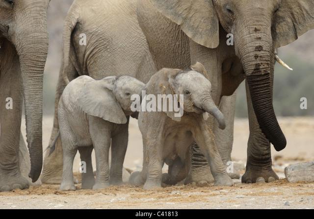 Wüste Elefanten, Loxodonta Africana, Trockenfluss Hoanib, Namibia, Afrika, Januar 2011 Stockbild
