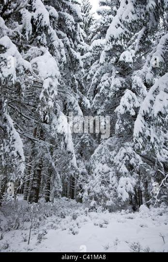 Verschneite Wälder Stockbild