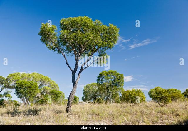 Tapia Baum, Uapaca Bojeri, Isalo, Madagaskar Stockbild