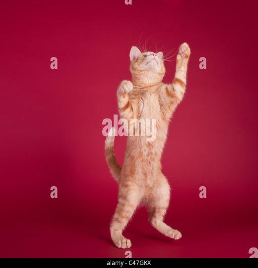 Studio Portrait von einer Katze auf die Hinterbeine und erreichen mit den Vorderpfoten auf rotem Hintergrund Stockbild
