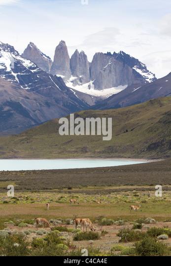 Guanakos, Torres del Paine Nationalpark-Chile Stockbild