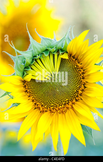 Helianthus Annuus. Sonnenblume Blütenblätter öffnen in einer Ernte in Indien Stockbild