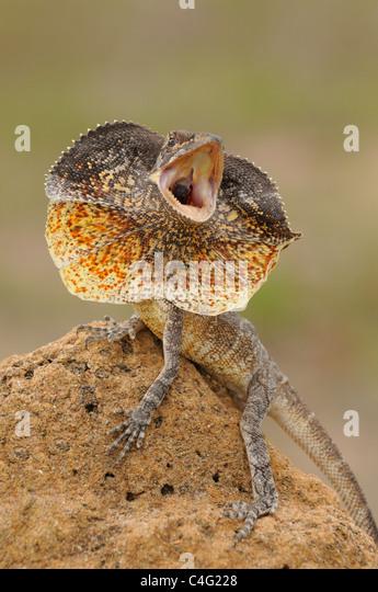 Gewundene Eidechse Chlamydosaurus Kingii Dsplaying fotografiert in Queensland, Australien Stockbild