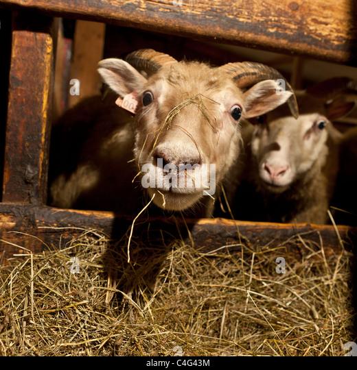 Schmutzige Schafe beschränkt im Inneren durch Asche fallen vom Vulkanausbruch Grimsvötn, Island Stockbild
