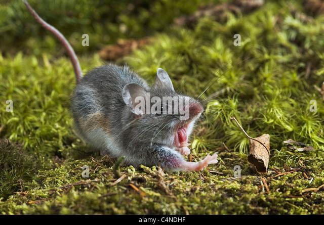 Nahaufnahme von Deer Mouse mit offenem Mund Stockbild