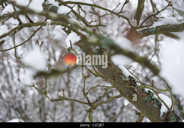 Einzigen Apfel auf schneebedeckten Baum Stockbild