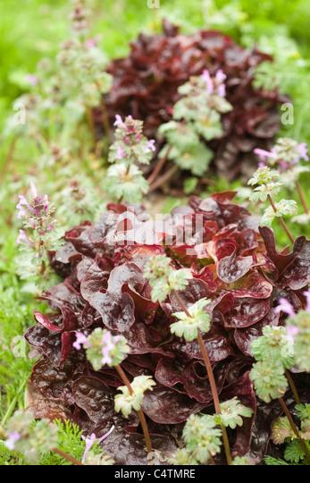 Roteiche Blattsalat in Feld wachsen Stockbild