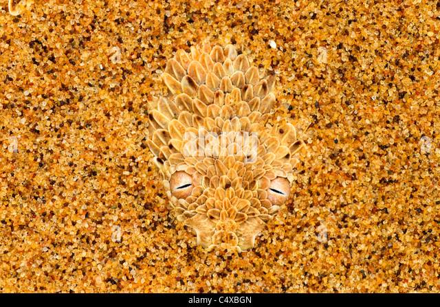 Die Sidewinder-Addierer (Bitis Peringueyi) ist eine giftige Viper Arten in der Namib-Wüste Namibias. Stockbild