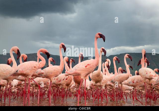 Lesser Flamingo (Phoenicopterus minor) am See Bogoria.Kenya Stockbild