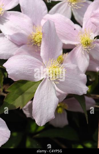 Clematis Montana 'Elizabeth' Blumen im Garten Kletterer Stockbild