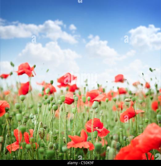 Wilder Mohn Blumen auf blauem Himmelshintergrund. Stockbild
