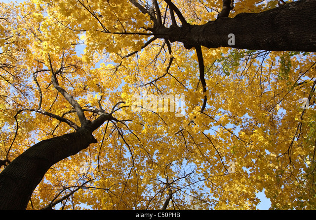 Herbst Ahornbäume mit gelben Blättern gegen den Himmel Stockbild