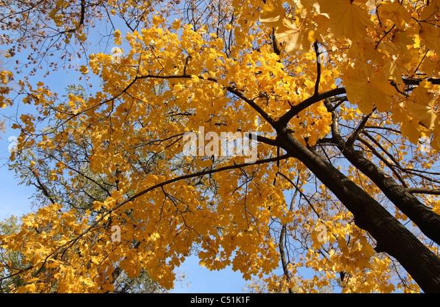 Herbst Ahorn mit gelben Blättern gegen den Himmel Stockbild