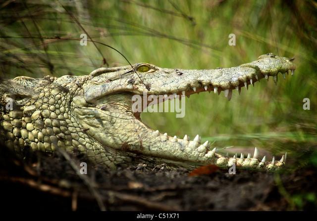 Nil-Krokodil (Crocodylus Niloticus) Saadani Nationalpark Tansania Stockbild