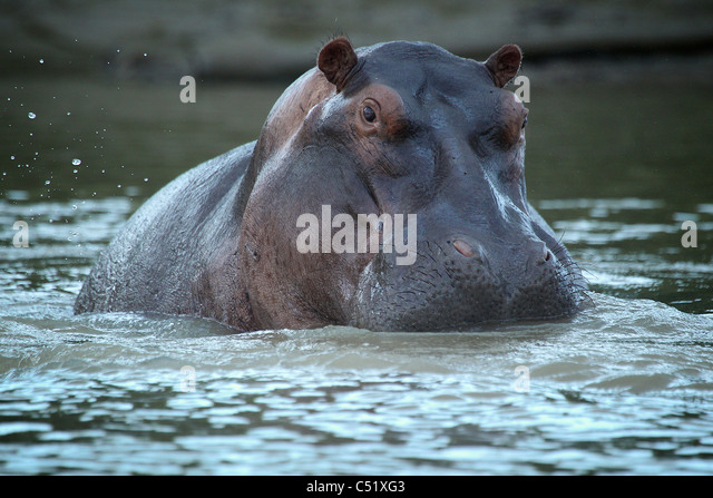Flusspferd (Hippopotamus Ampibius) Saadani Nationalpark Tansania Stockbild