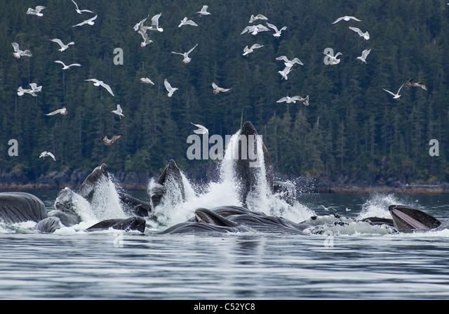 Buckelwale Blase net Fütterung für Hering in Chatham Strait, Inside Passage, Alaska Stockbild