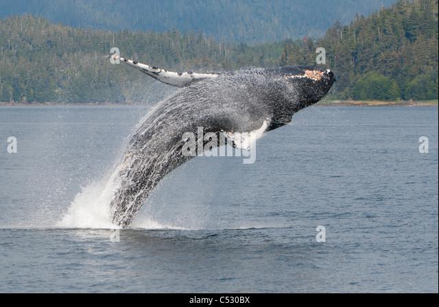 Buckelwal Verletzung in Frederick Sound, Inside Passage, südöstlichen Alaska, Sommer Stockbild