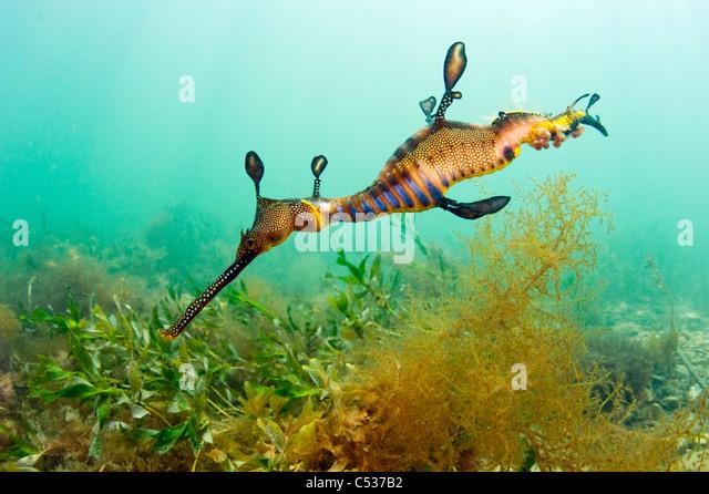 Ein Weedy oder gemeinsame Sea Dragon (Phyllopteryx Taeniolatus) schwimmt unter den Seetang um den Steg in Flinders, Stockbild