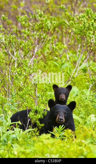 Schwarzer Bär Sau und Cub in der Nähe von Harding Icefield Trail am Exit-Gletscher in Kenai Fjords Nationalpark, Stockbild
