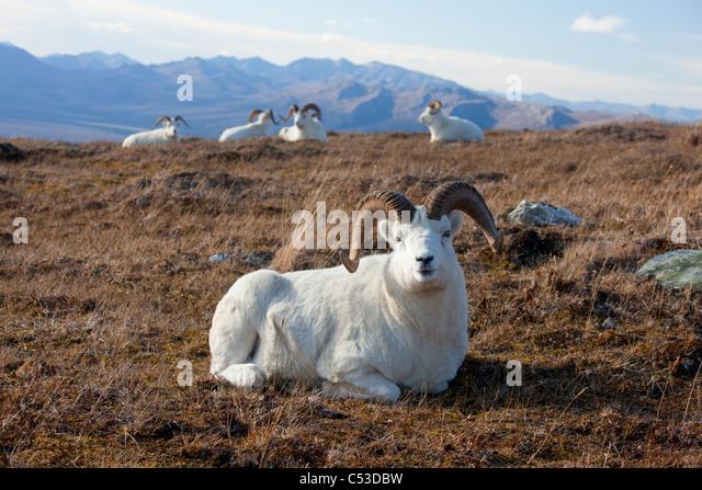 Eine Bande von Dallschafe Rams liegen und Ruhe in einer hohen Bergwiese, Denali Nationalpark und Reservat, Alaska Stockbild
