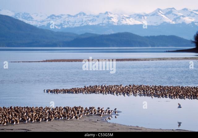 Shorebird Herde (meist westlichen Sandpipers und Alpenstrandläufer) Schlafplatz vor den Chugach Mountains, Stockbild