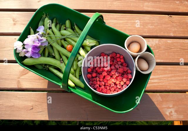 Ein Kunststoff Trug Korb voller frisches Gemüse angebaut auf einer Zuteilung, UK - Erbsen Bohnen Himbeeren Stockbild