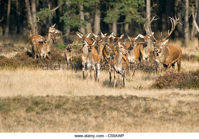 Der Nationalpark der Niederlande, Otterloo, genannt De Hoge Veluwe. Rothirsch (Cervus Elaphus). - Stock-Bilder
