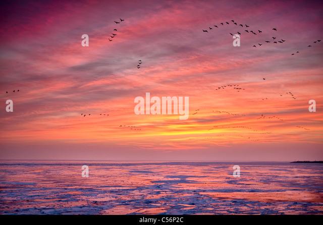 Niederlande, Oosterdijk, Winter, Schnee, Blick auf gefrorenen See IJsselmeer genannt. Sunrise. Gänse auf Nahrungssuche. Stockbild