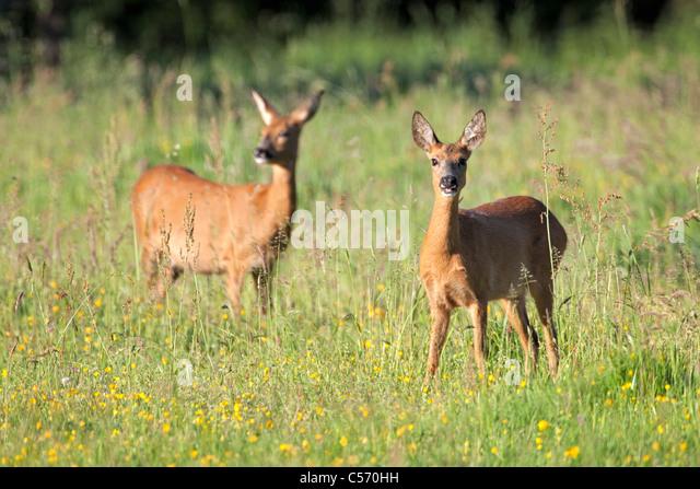 Den Niederlanden's-Graveland, paar Hirsch oder Reh. Stockbild