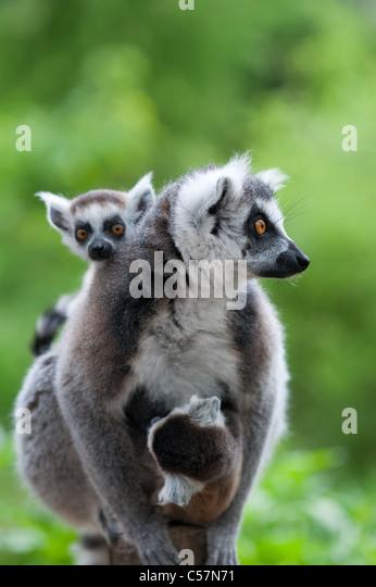 Nahaufnahme der Katta mit ihrem niedlichen Babys (Lemur Catta) Stockbild