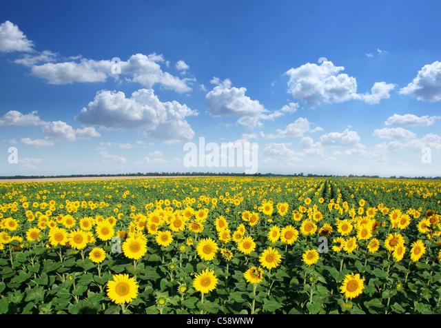 Sonnenblumenfeld auf blauen Himmelshintergrund. Stockbild