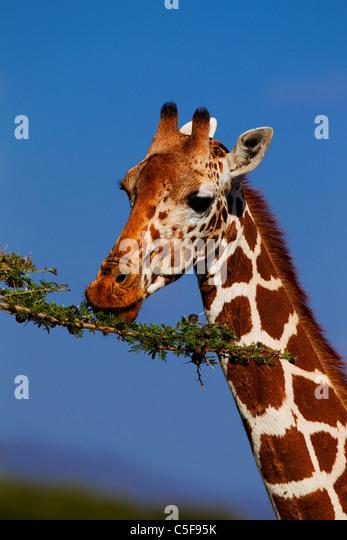 Mustervariation der netzförmigen Giraffe aus Nordost-Afrika North East Africa Stockbild