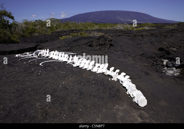 Wal-Skelett, Fernandina Insel, Galapagos, Ecuador Stockbild