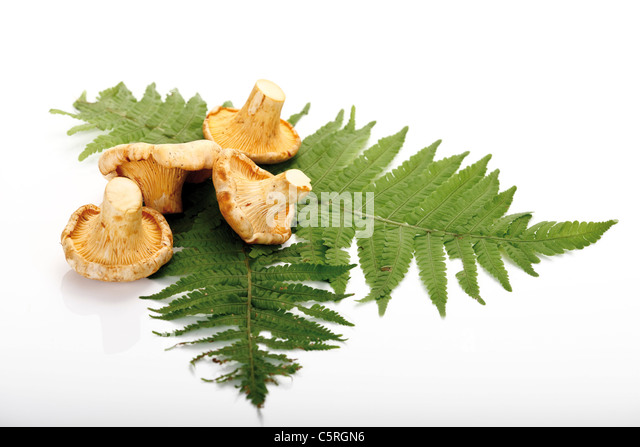 Rohe Pfifferlinge auf Farn Blätter Stockbild