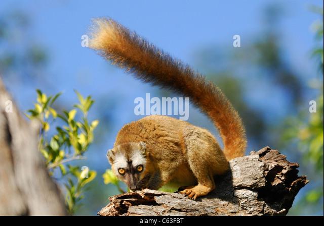 Rot-fronted brauner Lemur (Eulemur Rufus) im Berenty Naturreservat, Süd-Madagaskar Stockbild