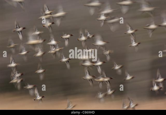 KRICKENTE Anas Vogelarten eine Herde von Teal im Flug (zur Veranschaulichung der Bewegung verwischt) Yorkshire, - Stock-Bilder