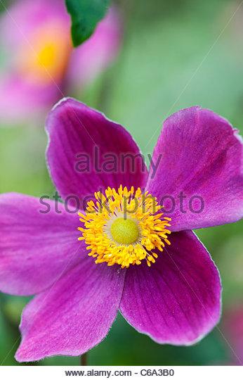 "Anemone Hupehensis ""Hadspen Fülle"". Japanische Anemonenblume Stockbild"