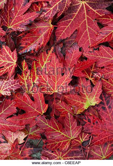 Japanischer Ahornblätter Farbwechsel im Herbst. Rot Acer Blattmuster Stockbild