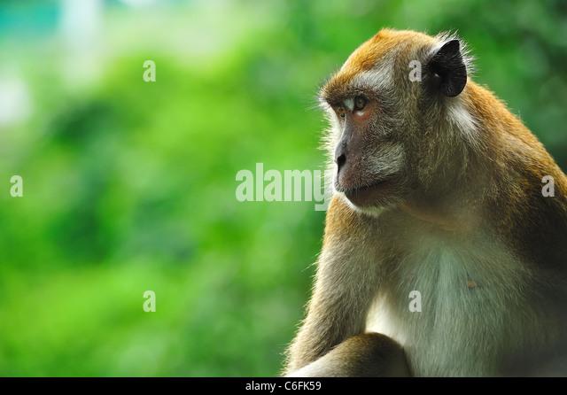 eine Affe in seinen eigenen Gedanken verloren Stockbild
