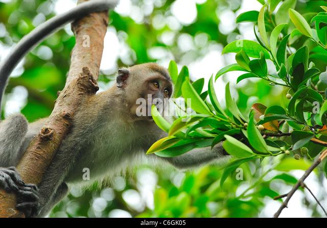 ein Affe, sammeln von Nahrung in den Bäumen Stockbild