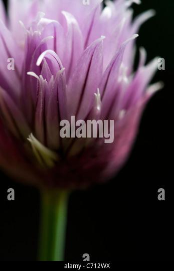 Allium Schoenoprasum Schnittlauch, einziges lila Kraut Blume Motiv, schwarzer Hintergrund Stockbild