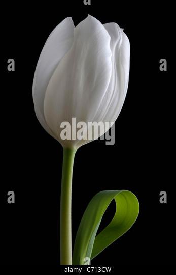 Tulipa, Tulpe, einzelne weiße Blume Motiv, schwarzer Hintergrund Stockbild