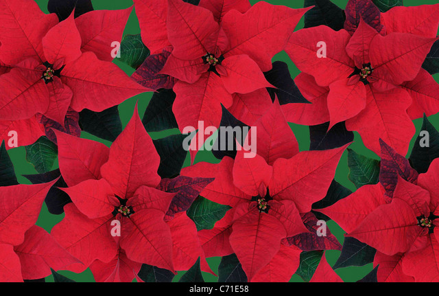 poinsettia euphorbia pulcherrima red stockfotos. Black Bedroom Furniture Sets. Home Design Ideas