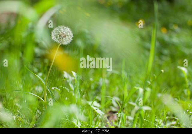 Löwenzahn-Blüten Stockbild