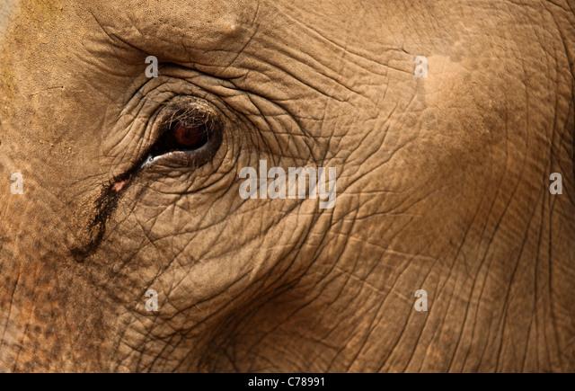 Nahaufnahme von Elefanten Auge und Haut in Patara Elefanten Farm; Chiang Mai, Thailand. Stockbild