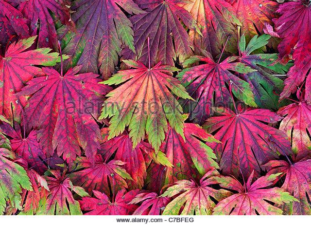 Acer Japonicum Attaryi verlässt. Japanischer Ahorn Laubfärbung im Herbst. Rot Acer Blatt Muster Stockbild