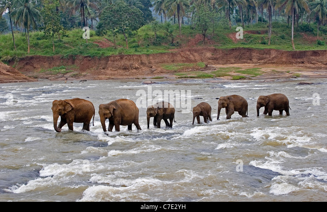Asiatischer Elefant Elephas Maximus Maximus Sri Lanka Stockbild