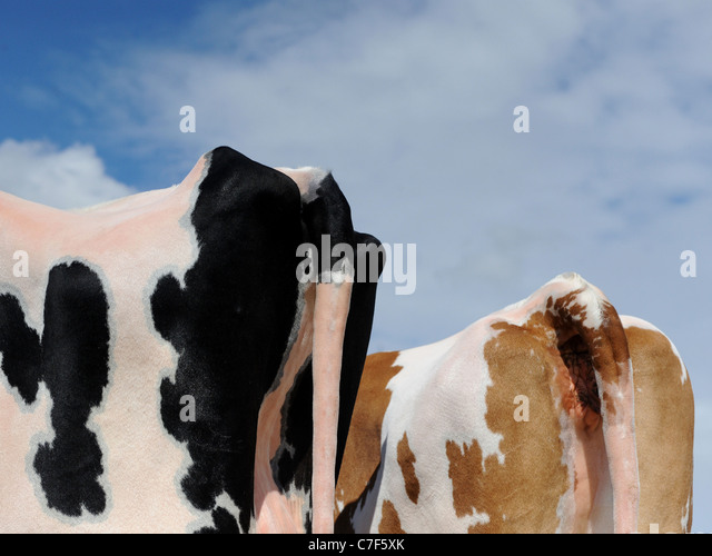 Eine Grafik von der Rückseite von zwei Kühen Stockbild